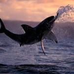 Ataque de un tiburón blanco en slow motion