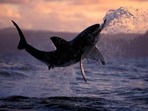 foto tiburon blanco ataque shark attack