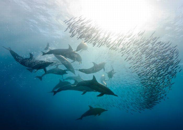 foto tiburones delfines sardinas