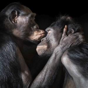foto Bonobos kissing bonobos besandose