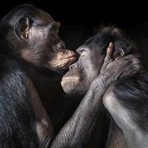 Bonobos besándose