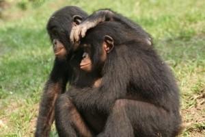 foto bonobos