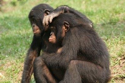 Los Bonobos prefieren compartir
