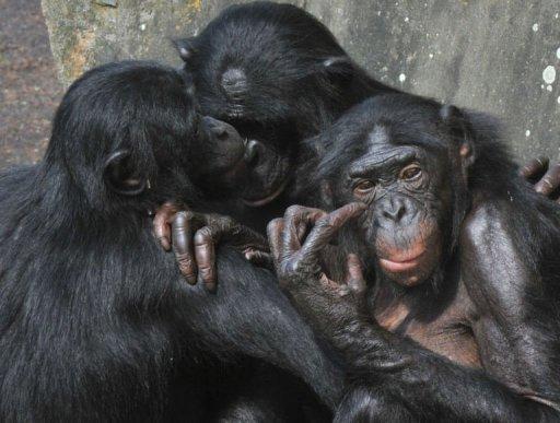 Hembra bonobo protege el cuerpo de otro bonobo muerto