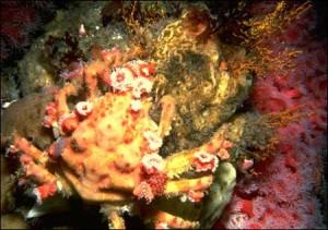 foto cangrejo camuflaje