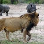 Jóvenes leones conta un rinoceronte
