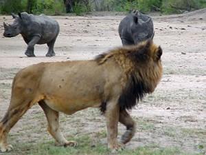 leon rinceronte lions rinho