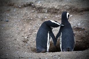 Pingüinos Adele de Paulet Island, Antártida