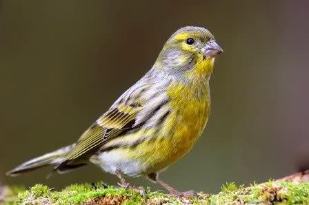 Canto de pájaros silvestres II