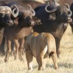 Lucha entre leones y búfalos en Tanzania