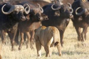 leones bufalos Lion Buffalo Standoff