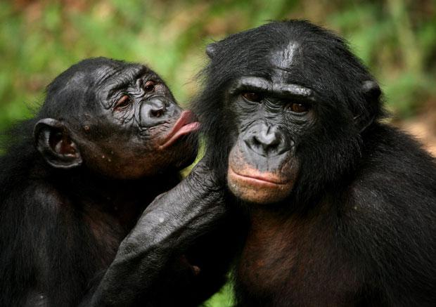 Amor entre bonobos
