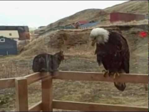 Un águila visita a un gato