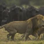 La caza de los grandes felinos