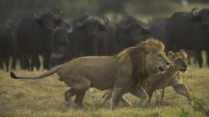 leones bufalos