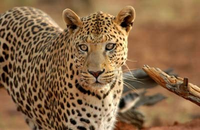 Impresionante: Leopardo caza al vuelo un impala