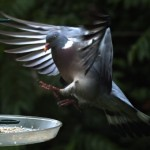 Paloma volando (cámara superlenta)