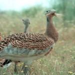 El Hombre y la Tierra: Las Aves Esteparias – Parte 2