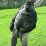 El gorila que camina como un hombre