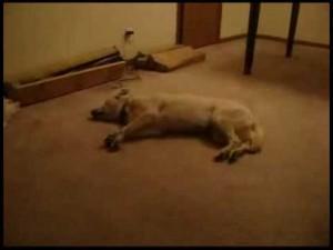 Perro sonámbulo que corre dormido
