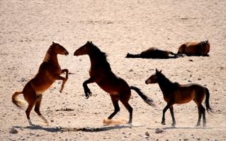 Caballos salvajes en el desierto Namid