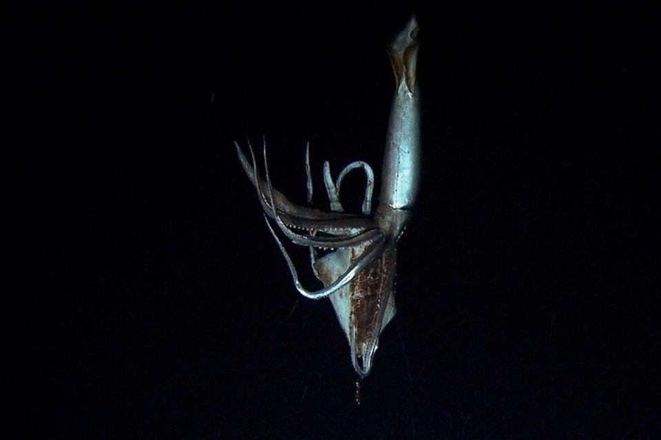 Vídeo del calamar gigante (Japón 2012)