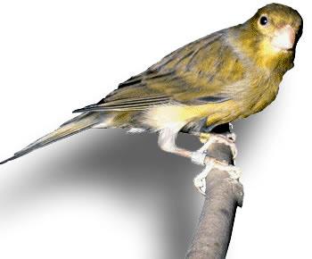 Canto aves: Canto de canario timbrado español