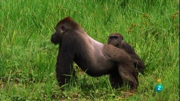 documental animales gorilas misteriosos