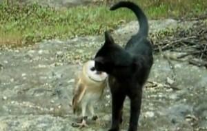 gato buho jugando