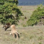 Un valiente babuino se enfrenta un joven león