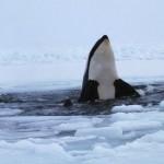 Familia de orcas idea un plan para cazar una foca