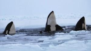 orcas en el artico