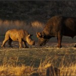 Pelea entre un Rinoceronte y un Búfalo africano