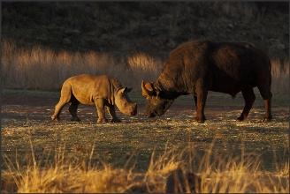 rinoceronte bufalo