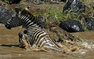 Cebra, cocodrilo e hipopótamos, encuentro sorprendente