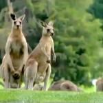 Canguros invaden un campo de golf en Australia