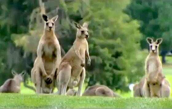 canguros invaden campo de golf Australia