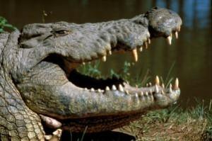 documental animales cocodrilos gigantes