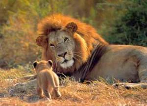 documental leones leon cachorro