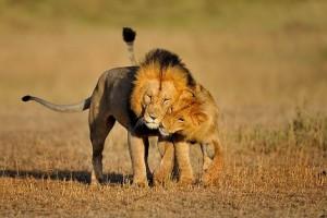 mejores vídeos de leones jugando