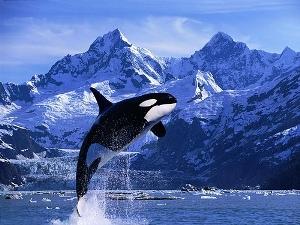 La vida de las Orcas