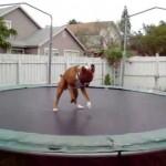 Perro saltando en cama elástica