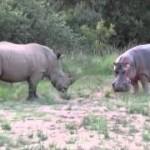 Rinoceronte vs Hipopótamo, surge el amor