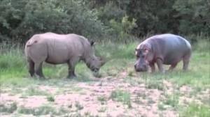 rino vs hippo rinoceronte vs hipopotamo amor