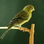 Análisis del canto de canario timbrado