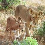Documental leones – El corazón de una leona