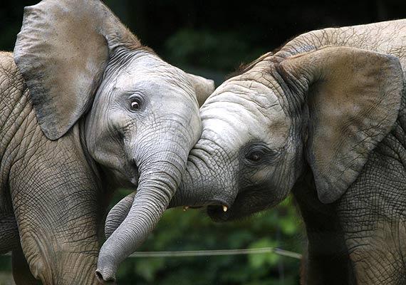 Crías de elefantes jugando