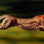 Guepardo corriendo en cámara lenta (Slow motion)