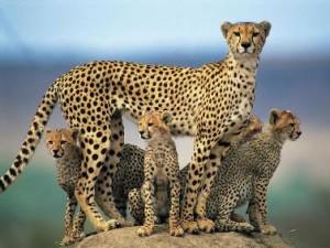 documental guepardos
