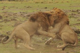 Leones peleando (¿o jugando?)